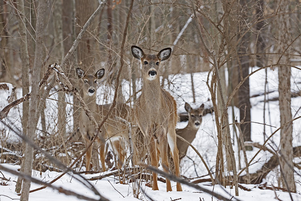 Deer in the snow at Mounds Park.<br /> <br /> Photographer's Name: Pete Domery<br /> Photographer's City and State: Markleville, Ind.