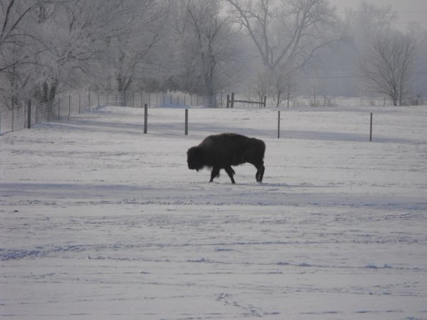 And the buffalo roam...taken at the Cook farm in Richland Township.<br /> <br /> Photographer's Name: J.R.  Rosencrans<br /> Photographer's City and State: Alexandria, Ind.