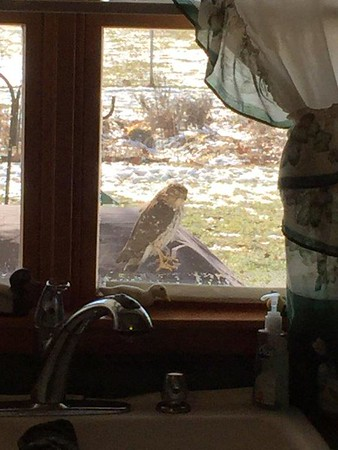 This young hawk flew in and landed on a backyard grill on Sunday, Jan.<br /> 24.  There is a bird feeder nearby, and perhaps he was hoping not to be noticed as he waited for his lunch to arrive.<br /> <br /> Photographer's Name: Alan Erwin<br /> Photographer's City and State: Alexandria, Ind.