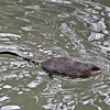 Muskrat love, swimming in Killbuck Creek.<br /> <br /> Photographer's Name: J.R. Rosencrans<br /> Photographer's City and State: Alexandria, Ind.
