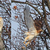Here's a composite photo of a Red Tail Hawk taking flight at Mounds Park.<br /> <br /> Photographer's Name: Jerry Byard<br /> Photographer's City and State: Anderson, Ind.