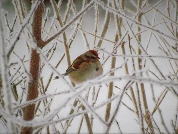 "A ""brrrrr"" bird at my farm.<br /> <br /> Photographer's Name: J.R. Rosencrans<br /> Photographer's City and State: Alexandria, Ind."