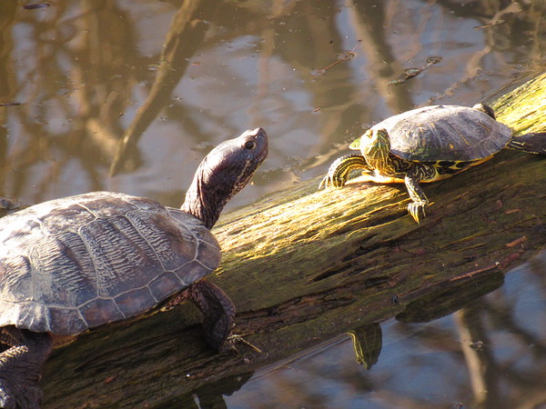 Two turtles basking in the sunlight on a 63-degree day in mid-January.<br /> <br /> Photographer's Name: Harry Van Noy<br /> Photographer's City and State: Lafayette Township, Ind.