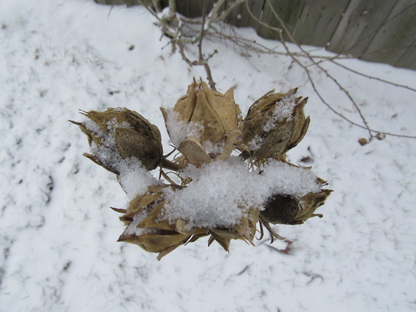 Dead buds collecting snow on a cold January day.<br /> <br /> Photographer's Name: Harry Van Noy<br /> Photographer's City and State: Lafayette Township, Ind.