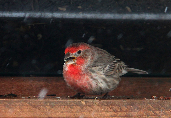 A finch on a feeder at Mounds Park.<br /> <br /> Photographer's Name: Jerry Byard<br /> Photographer's City and State: Anderson, Ind.