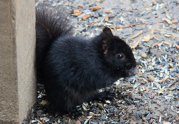 A not-so-common black squirrel feeding at Mounds Park.<br /> <br /> Photographer's Name: Jerry Byard<br /> Photographer's City and State: Anderson, Ind.
