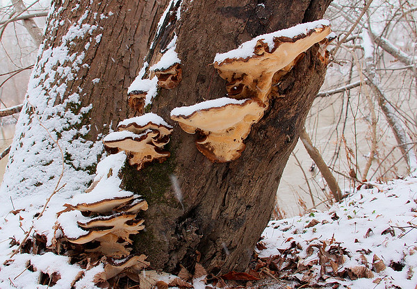 Snow covered fungus on a dead tree along the river at Mounds Park.<br /> <br /> Photographer's Name: Jerry Byard<br /> Photographer's City and State: Anderson, Ind.