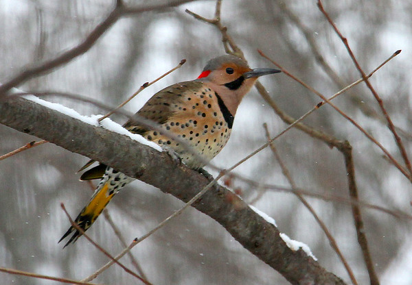 A Flicker waiting to get to the feeder at Mounds Park.<br /> <br /> Photographer's Name: Jerry Byard<br /> Photographer's City and State: Anderson, Ind.