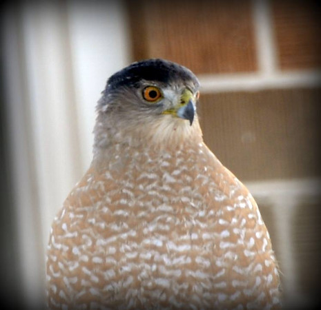 A Coopers hawk hanging out near our bird feeders (photo by Allan L. Howell).<br /> <br /> Photographer's Name: Allan L. Howell<br /> Photographer's City and State: Pendleton, Ind.