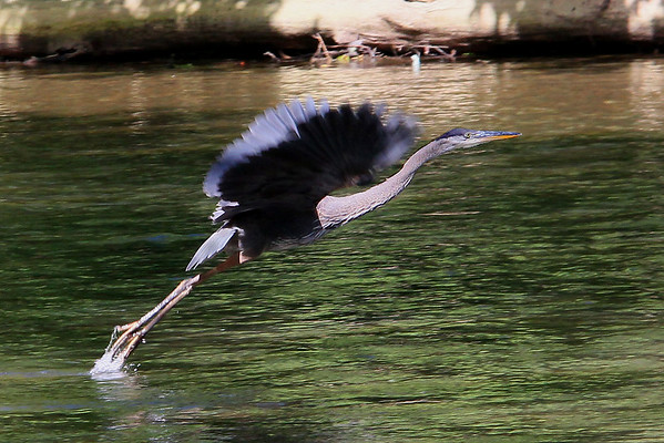 A blue heron taking flight from White River at Mounds Park.<br /> <br /> Photographer's Name: Jerry Byard<br /> Photographer's City and State: Anderson, Ind.