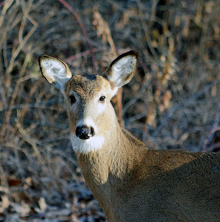 A deer at Mounds Park (photo by Allan L. Howell).<br /> <br /> Photographer's Name: Debra Howell<br /> Photographer's City and State: Pendleton, Ind.