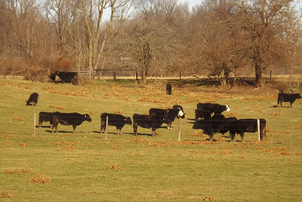 Content country cows in Richland Township.<br /> <br /> Photographer's Name: J.R. Rosencrans<br /> Photographer's City and State: Alexandria, Ind.