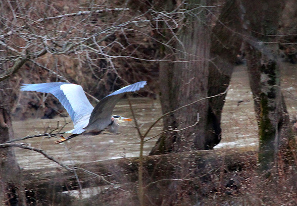 A blue heron in flight at Mounds Park.<br /> <br /> Photographer's Name: Jerry Byard<br /> Photographer's City and State: Anderson, Ind.