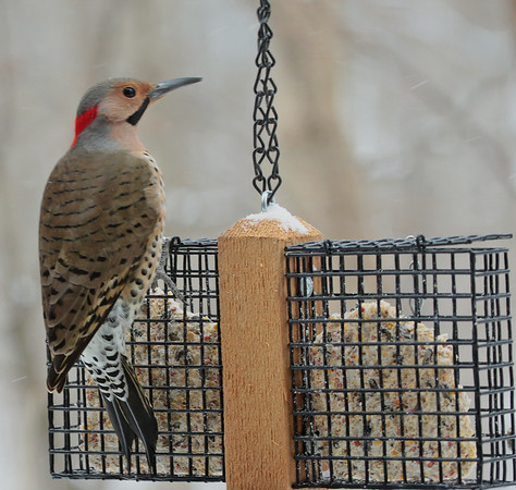 Northern flicker at a Mounds Park Nature Center feeder.<br /> <br /> Photographer's Name: Pete Domery<br /> Photographer's City and State: Markleville, Ind.