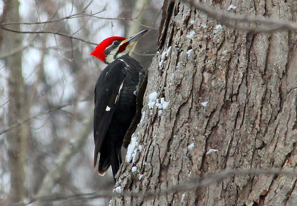 A pileated woodpecker on a tree near the bird feeder at Mounds Park.<br /> <br /> Photographer's Name: Jerry Byard<br /> Photographer's City and State: Anderson, Ind.