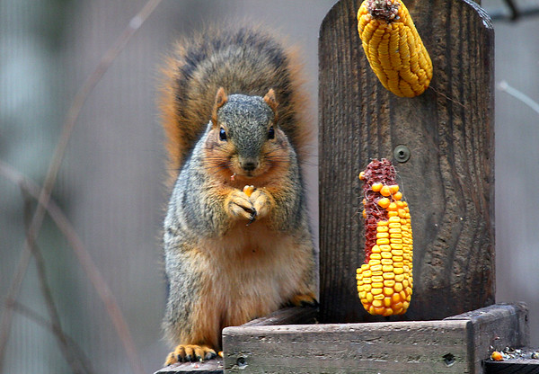 A squirrel at Mounds Park eats from the corn that is supplied.<br /> <br /> Photographer's Name: Jerry Byard<br /> Photographer's City and State: Anderson, Ind.