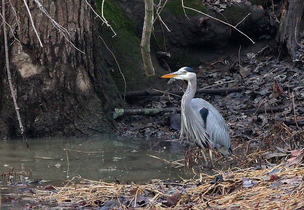 A blue heron at Mounds Park during a higher than usual White River.<br /> <br /> Photographer's Name: Jerry Byard<br /> Photographer's City and State: Anderson, Ind.