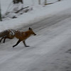 Fox at Falls Park (photo by Allan L. Howell).<br /> <br /> Photographer's Name: Debra Howell<br /> Photographer's City and State: Pendleton, Ind.