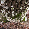 Lots of fungus on the trees at Mounds Park.<br /> <br /> Photographer's Name: Jerry Byard<br /> Photographer's City and State: Anderson, Ind.