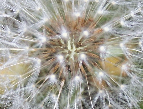 Dandelion.<br /> <br /> Photographer's Name: Rebecca Reding<br /> Photographer's City and State: Anderson, Ind.