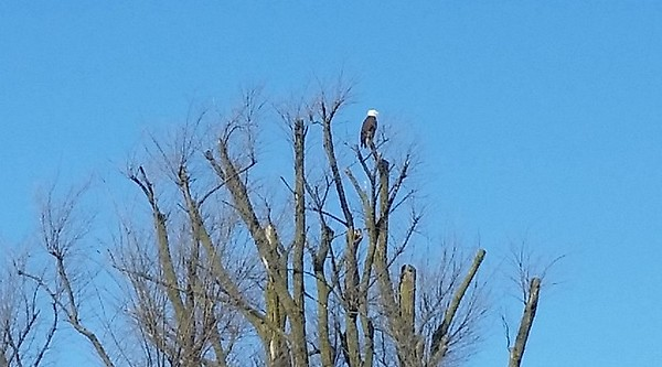 A bald eagle in a tree near 600 West and 200 North Anderson.<br /> <br /> Photographer's Name: George Guy<br /> Photographer's City and State: Pendleton, Ind.