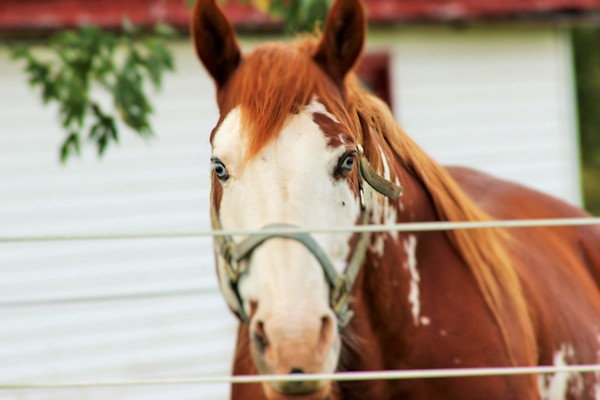 A blue-eyed horse in rural Madison County.<br /> <br /> Photographer's Name: Rebecca Reding<br /> Photographer's City and State: Anderson, Ind.