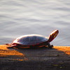 A turtle basking in the sunlight on a 63-degree day in mid January.<br /> <br /> Photographer's Name: Harry Van Noy<br /> Photographer's City and State: Lafayette Township, Ind.