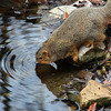 This squirrel at Mounds Park is taking a drink and causing ripples.<br /> <br /> Photographer's Name: Jerry Byard<br /> Photographer's City and State: Anderson, Ind.