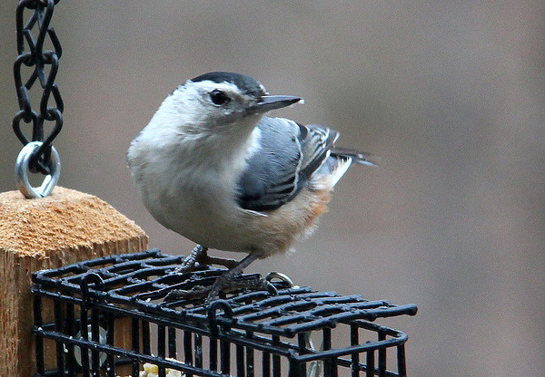A Nuthatch sitting on top of the suet feeder at Mounds Park.<br /> <br /> Photographer's Name: Jerry Byard<br /> Photographer's City and State: Anderson, IN