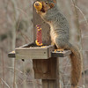 A squirrel eating corn at Mounds Park Nature Center this morning.<br /> <br /> Photographer's Name: Pete Domery<br /> Photographer's City and State: Markleville, Ind.