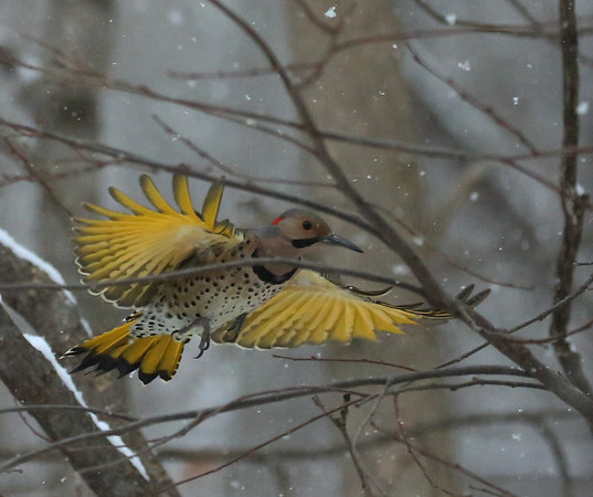 A northern flicker landing at Mounds Park Nature Center feeders.<br /> <br /> Photographer's Name: Pete Domery<br /> Photographer's City and State: Markleville, Ind.