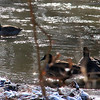 Geese cruising the cold White River at Mounds park.<br /> <br /> Photographer's Name: Jerry Byard<br /> Photographer's City and State: Anderson, Ind.
