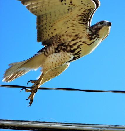Posing hawk.<br /> <br /> Photographer's Name: Rebecca Reding<br /> Photographer's City and State: Anderson, Ind.