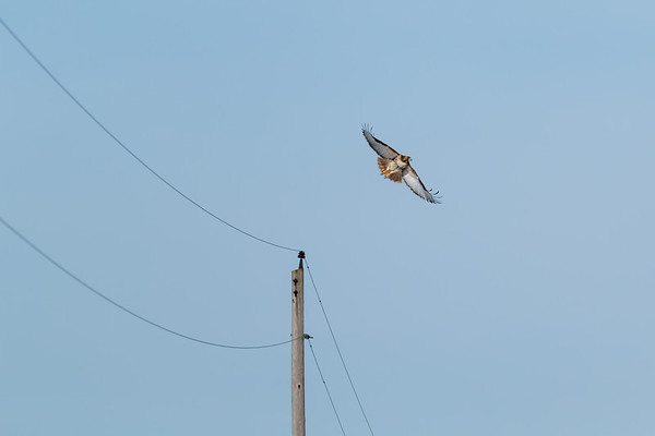 A gorgeous red-tailed hawk taking off from resting atop a utility pole on county roads.<br /> <br /> Photographer's Name: Ruby  Northcutt<br /> Photographer's City and State: Anderson, Ind.