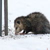 He's not pretty but the possum in the city is cleaning up around the bird feeder.<br /> <br /> Photographer's Name: Jerry Byard<br /> Photographer's City and State: Anderson, Ind.