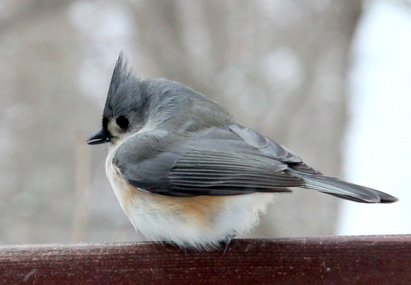 A tufted titmouse at Mounds Park on a bird feeder.<br /> <br /> Photographer's Name: Jerry Byard<br /> Photographer's City and State: Anderson, Ind.