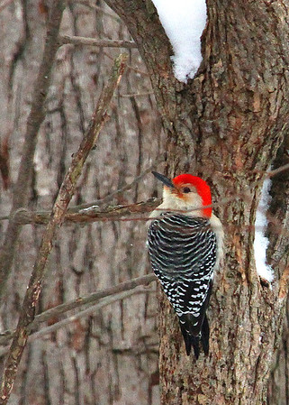 A red-bellied woodpecker on a tree at Mounds Park.<br /> <br /> Photographer's Name: Jerry Byard<br /> Photographer's City and State: Anderson, Ind.