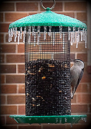 The beauty of winter: a nuthatch on an icy feeder.<br /> <br /> Photographer's Name: Debra Howell<br /> Photographer's City and State: Pendleton, Ind.