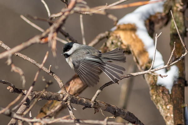 A black-capped chicadee takes off from resting at Mounds State Park.<br /> <br /> Photographer's Name: Ruby Northcutt<br /> Photographer's City and State: Anderson, Ind.
