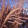 Ornamental grass, touched by Jack Frost.<br /> <br /> Photographer's Name: J.R. Rosencrans<br /> Photographer's City and State: Alexandria, Ind.