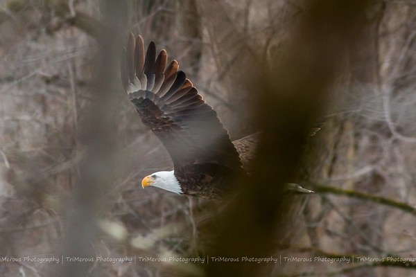 A bald eagle flying over the river at Mounds on Tuesday afternoon. <br /> <br /> Photographer's Name: Ruby Northcutt <br /> Photographer's City and State: Anderson, Ind.