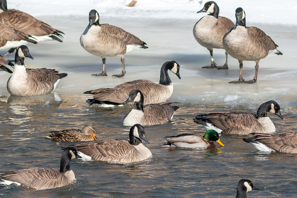 Mallards and some Canada Geese enjoying the thawing at Killbuck Wetlands.<br /> <br /> Photographer's Name: Ruby Northcutt<br /> Photographer's City and State: Anderson, Ind.