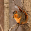 A squirrel at Mounds Park on a perch during cold temperatures.<br /> <br /> Photographer's Name: Jerry Byard<br /> Photographer's City and State: Anderson, Ind.