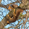 A couple of squirrels playing in a tree at Mounds State Park.<br /> <br /> Photographer's Name: Ruby Northcutt<br /> Photographer's City and State: Anderson, Ind.