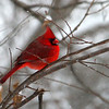 A cardinal waiting for the bird feeder at Mounds Park.<br /> <br /> Photographer's Name: Jerry Byard<br /> Photographer's City and State: Anderson, Ind.