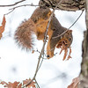Squirrel gathering new nesting material for the Winter Storm predicted!<br /> <br /> Photographer's Name: Ruby Northcutt<br /> Photographer's City and State: Anderson, Ind.