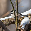 A black-capped chicadee rests on a branch of a tree at Mounds State Park after digging through snow for food.<br /> <br /> Photographer's Name: Ruby Northcutt<br /> Photographer's City and State: Anderson, Ind.