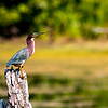 A green heron posing at Summit Lake State Park this past September.<br /> <br /> Photographer's Name: Ruby Northcutt<br /> Photographer's City and State: Anderson, Ind.