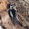 A downy woodpecker getting ready to go inside before the snow hits at Killbuck Wetlands.<br /> <br /> Photographer's Name: Ruby Northcutt<br /> Photographer's City and State: Anderson, Ind.
