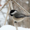 A chickadee at Mounds Park on one of the feeders.<br /> <br /> Photographer's Name: Jerry Byard<br /> Photographer's City and State: Anderson, Ind.
